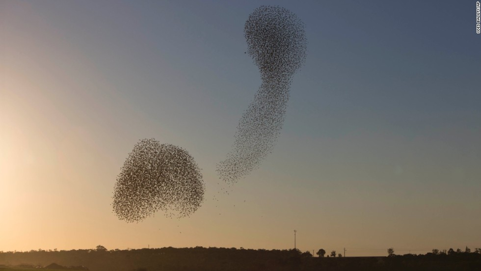 Starling murmurations are considered one of the most mesmerizing sights in nature.