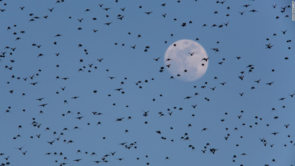 The moon is seen in the distance as the starlings fly overhead.