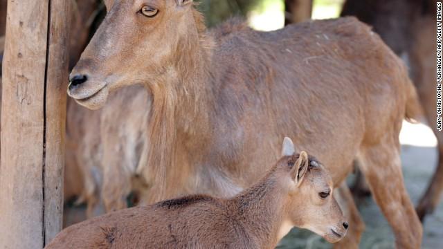 Mouflon: Corsica's emblem.