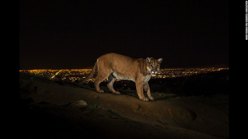 <strong>1st Prize Nature Stories:</strong> A cougar walking a trail in Los Angeles' Griffith Park is captured by a camera trap. To reach the park, which has been the cougar's home for the past two years, it had to cross two of the busiest highways in the U.S.