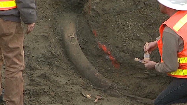 Construction crew unearths mammoth tusk