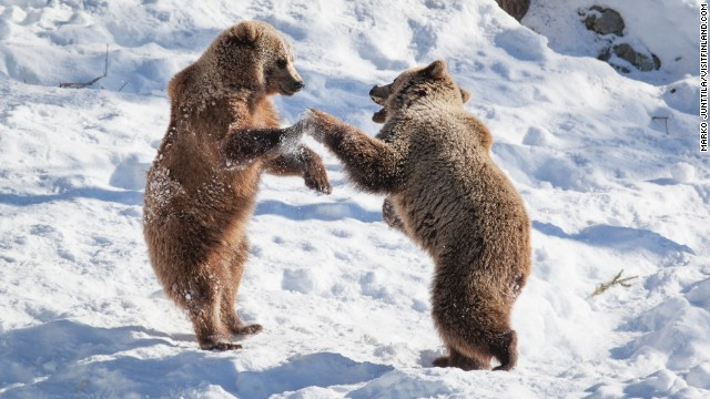 Bear fight: big males come and go across the Finno-Russian border.