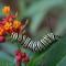 07 monarch butterfly