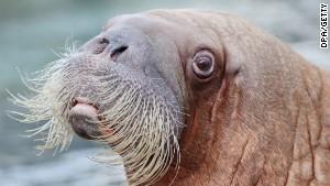 Walrus. Sad Seal. Sad Walrus. Stock Vector Illustration 356416928 ...