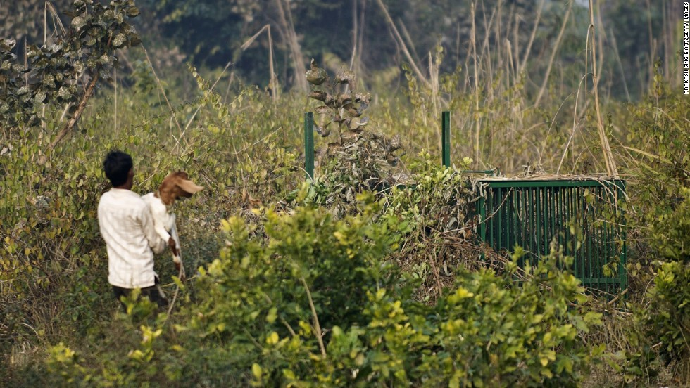 A forest guard puts a live goat into a cage as bait.