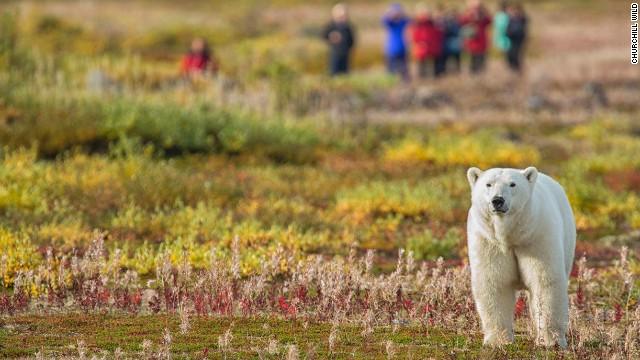 Polar bear numbers could shrink by two-thirds by mid-century.
