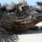 vanishing wilflife experiences Galapagos marine iguana