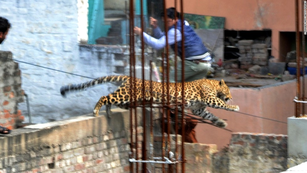 "A leopard leaps near a furniture market in the Degumpur area of Meerut, India, on Sunday, February 23. The big cat <a href=""http://www.cnn.com/2014/02/25/world/asia/india-loose-leopard/index.html"">sparked panic</a> in the city when it strayed inside a hospital, a cinema and an apartment block, an official said. It evaded capture and has not been seen in the city since."