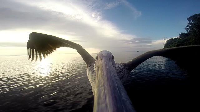 natpkg pelican selfie_00003419.jpg