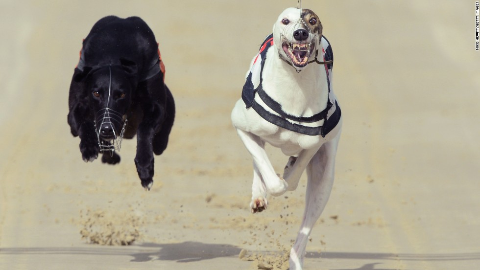 Rose's Risk, right, wins a race Friday, February 28, at the Coral Brighton & Hove Greyhound Stadium in Hove, England.
