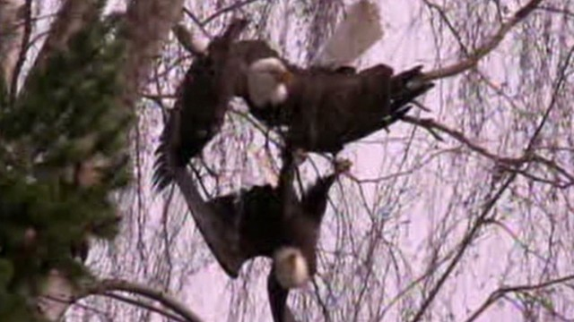 dnt or bald eagle stuck together in tree_00011306.jpg