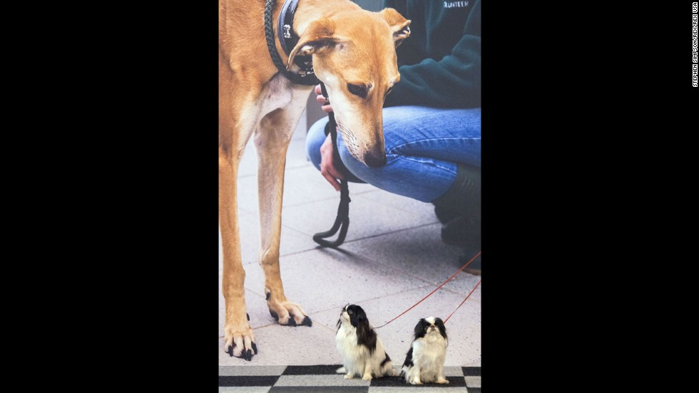 Two Japanese Chins sit in front of a dog poster on March 6.