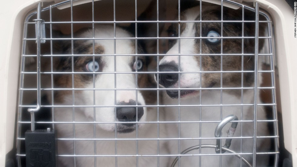 Two Australian shepherds are seen in their kennel March 6.