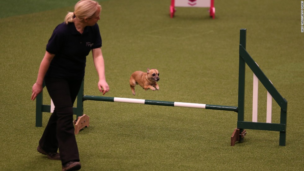 A small dog jumps over a fence during the Rescue Dog Agility show March 6.