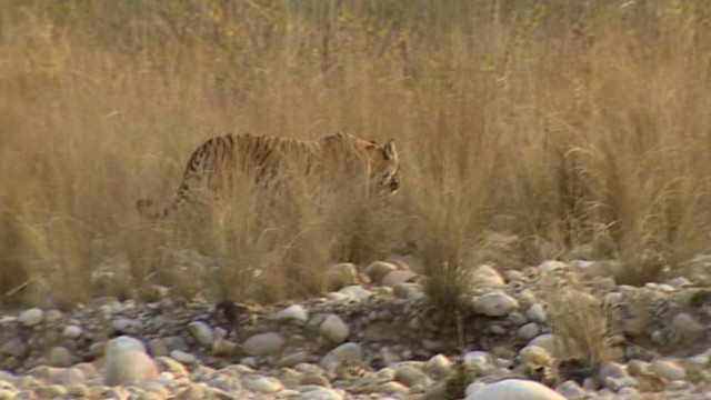 Man-eating tiger stalks Indian villages