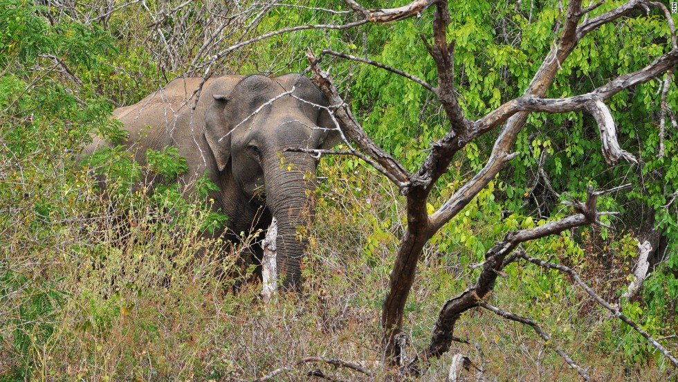 Yala is home to several Asian elephants, though herds are more common in nearby Udawalawe National Park.