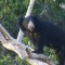black sloth bear yala sri lanka