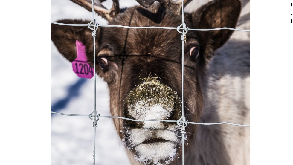 This curious reindeer is part of a captive herd on the campus of the University of Alaska, Fairbanks. The herd is maintained for research purposes to support the development of Alaska's reindeer industry.