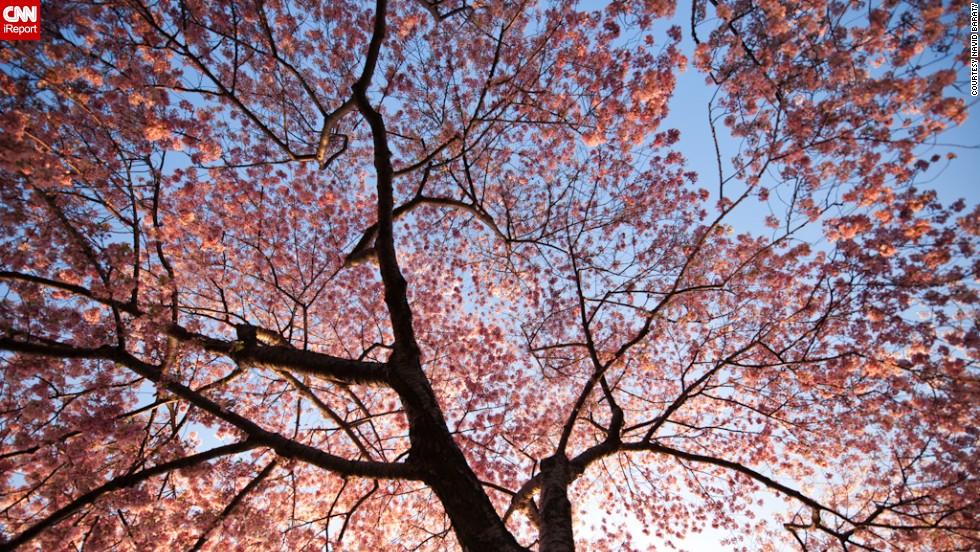 http://i2.cdn.cnn.com/cnnnext/dam/assets/140316104035-irpt-cherry-blossom-1-horizontal-large-gallery.jpg