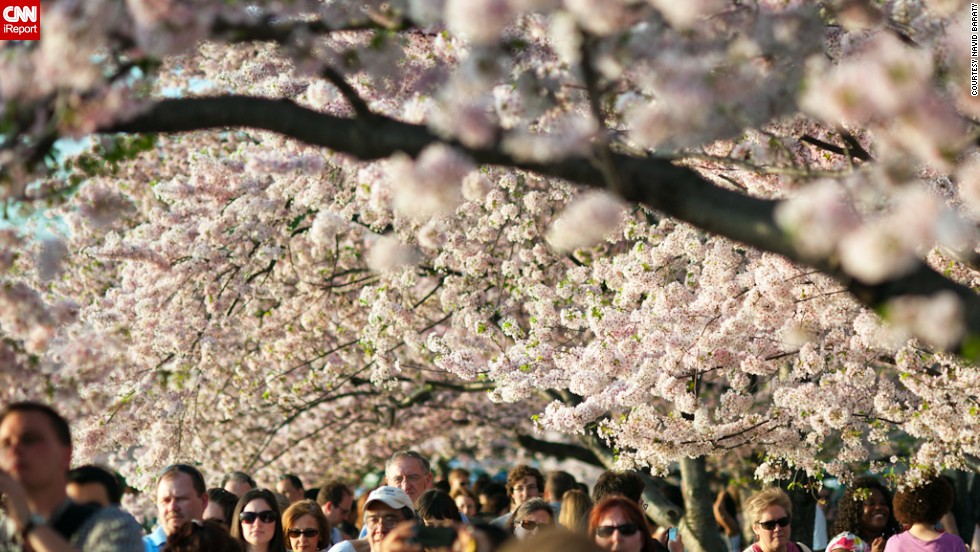 2014 marks the 102nd anniversary of the cherry blossom gift from the Japanese.