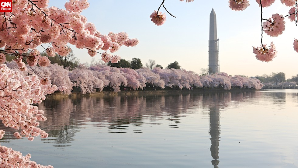 Cherry blossoms bloom in a variety of countries during spring. You can find these delicate flowers in the United States, Japan, Germany, India and even Turkey, just to name a few nations this flowering plant calls home.