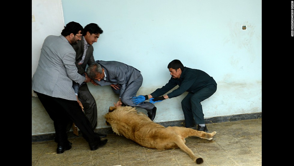Zookeeper Qurban Ali, right, tries to intervene as Marjan the lion roughhouses with a visitor in his cage at the zoo in Kabul, Afghanistan, on Tuesday, March 18. The lion lived on a wealthy businessman's private rooftop in the city until it got sick and was rescued by animal welfare officials last year.