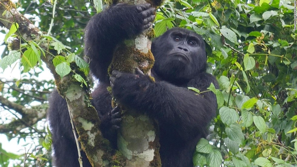 """I observed gorillas' powerful arms, elegant posture, and occasional eye contact made me feel connected."""