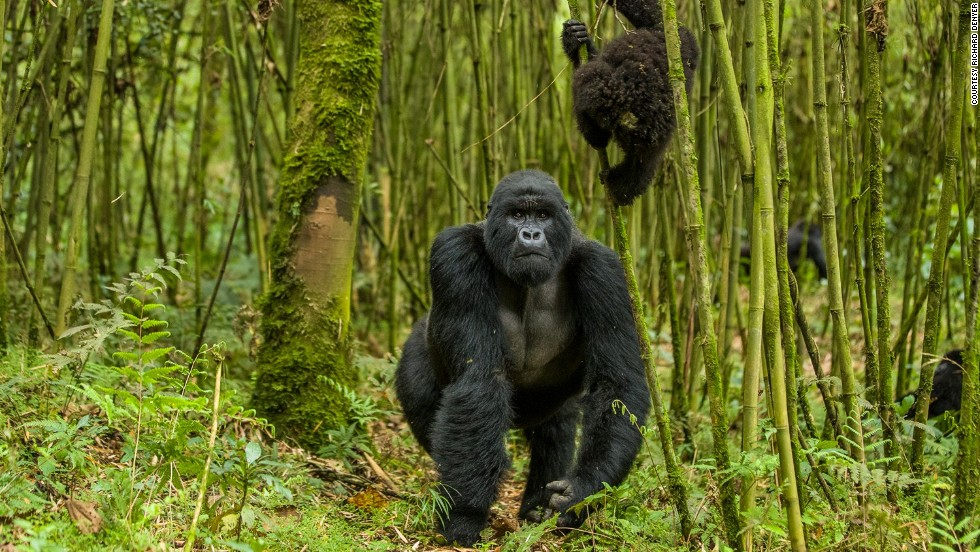 The safari is designed to combine luxury experiences with contributions to conservation efforts. A five-day trip to Rwanda will seek out the country's mountain gorillas. Just 880 individuals remain today, in the DRC, Rwanda and Uganda.