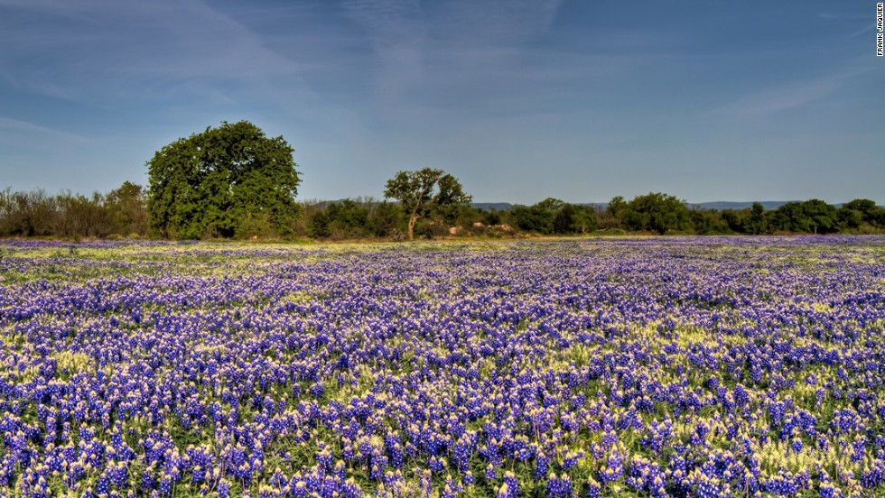 Visitors enjoying Texas Hill Country's bluebonnets can thank Lady Bird Johnson, wife of President Lyndon Johnson, who worked to beautify American cities. In her home state of Texas, bluebonnets were planted across Texas Hill Country.