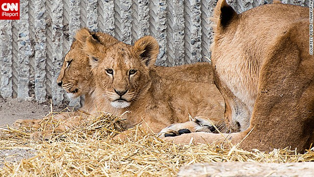 Lions relax at the Copenhagen Zoo in April 2013. It's unclear whether these animals were among the four killed this week.