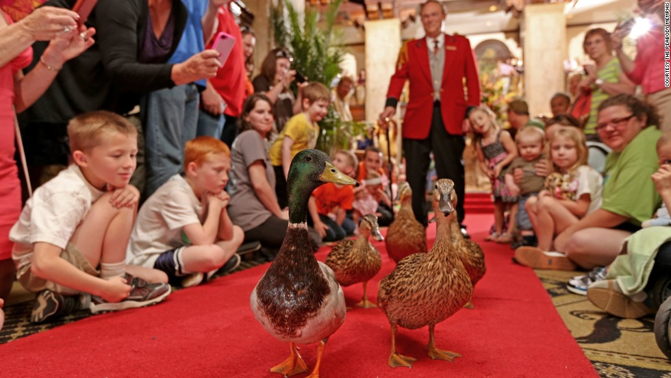 At the Peabody hotel in Memphis, the resident ducks parade through the lobby each day.
