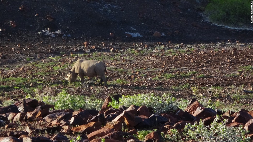 After a long day of walking and tracking, the rhino finally comes into view grazing on a riverbed. It's important to keep a respectful distance -- when disturbed unexpectedly, rhinos may charge.