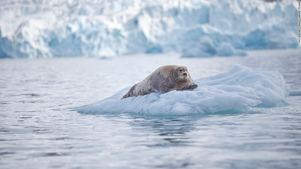 "Bearded seals ""don't really sound like animals, they sound like UFOs coming in to land -- they make this extraordinary noise that lasts about a minute,"" says Trevor Cox. <a href=""http://www.sonicwonders.org/bearded-seals-arctic/"" target=""_blank"">Hear them here</a>."