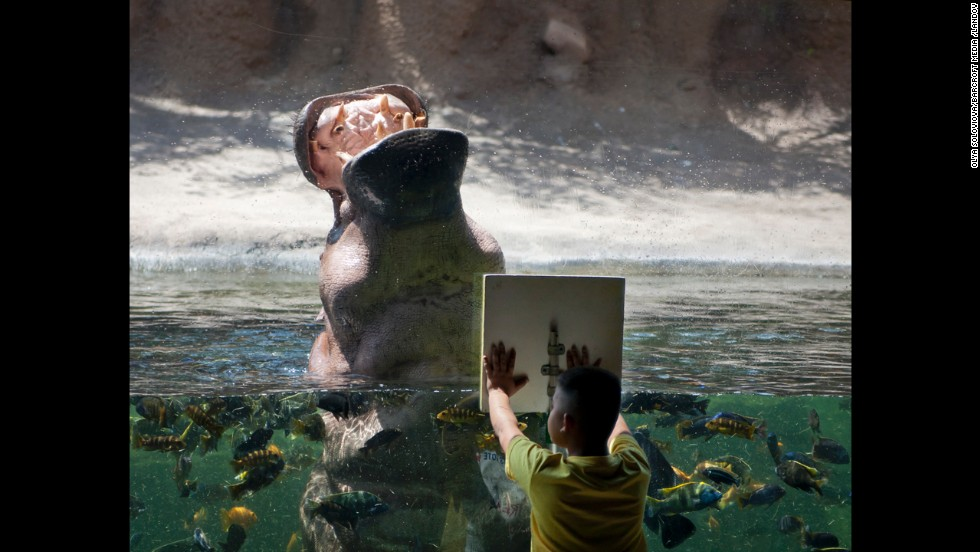 A hungry hippo indeed. A hippopotamus roars for a treat in front of a boy at the San Antonio Zoo in Texas. The zoo is No. 13 on the list.