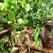 Vanuatu land divers 05
