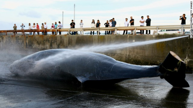 Japanese fishermen hose down a Baird's Beaked whale at Wada Port on June 21, 2007 in Chiba, Japan.