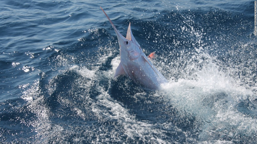 "A rare 300-pound marlin was caught and released off the coast of Costa Rica during a fishing trip run by <a href=""http://mavericksportfish.com/"" target=""_blank"">Maverick Yachts and Maverick Sportfishing Tours</a> on March 11. It's being called the first-ever recorded albino blue marlin, according to <a href=""https://www.facebook.com/pages/Maverick-Yachts-Sportfishing-Herradura-Bay-Costa-Rica/106226059447950"" target=""_blank"">the company's Facebook page</a>. It's unclear whether the fish was albino or leucistic, retaining some essence of its normal pigmentation."