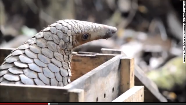 Pangolins are thought to be the most trafficked mammals in the world. They're traded by the ton.