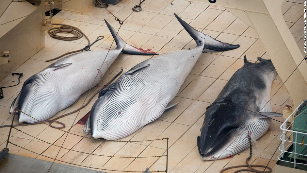 Three dead minke whales lie on the deck of the Japanese whaling vessel Nisshin Maru in the Southern Ocean.