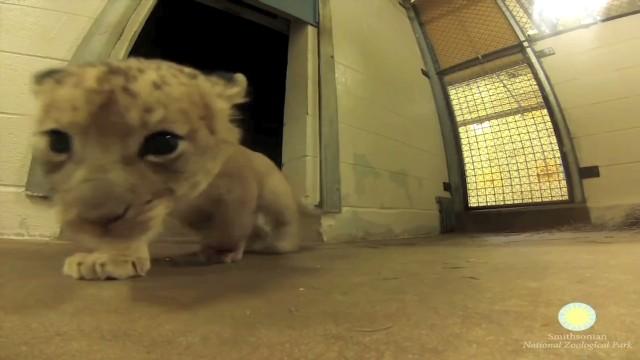 vo GoPro lion cubs _00005622.jpg