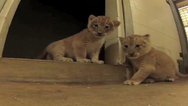 vo GoPro lion cubs _00003417.jpg