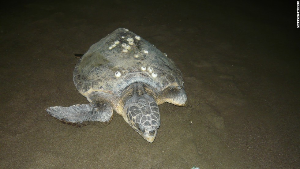 Measuring up to one meter in length, mature females return to Ituzu to lay their own eggs. About 300 females still bury their eggs in the sand each May.