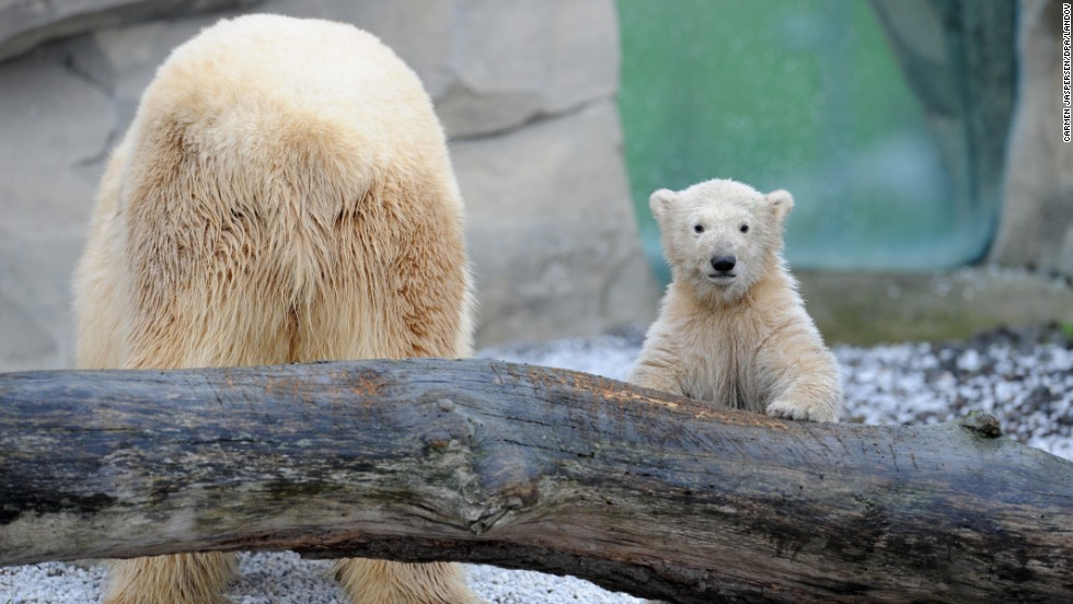 Lale, a polar bear cub, explores her outdoor enclosure for the first time at Zoo am Meer on Tuesday, April 8, in Bremerhaven, Germany.