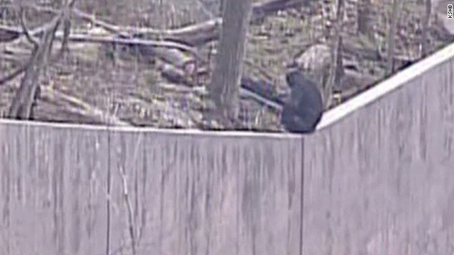 Malted milk balls help catch loose chimps