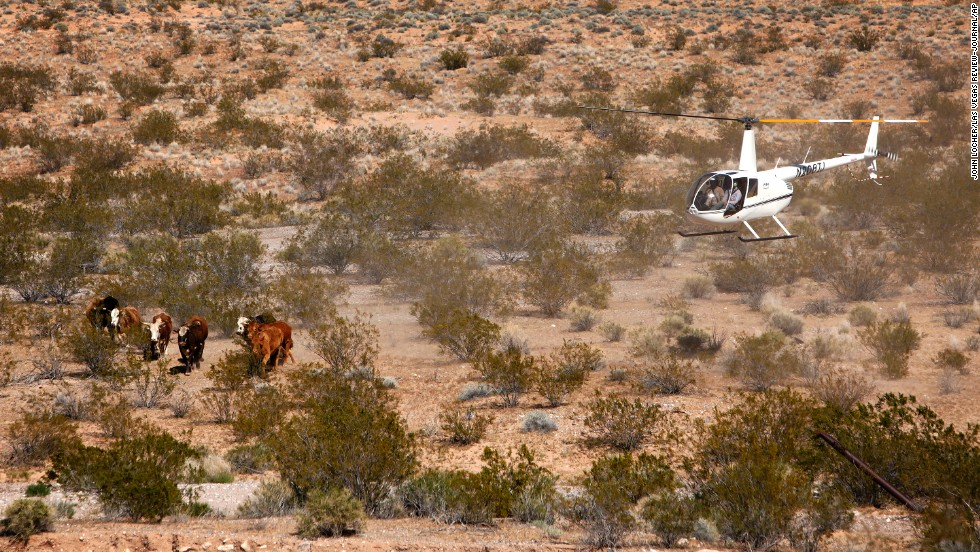 The U.S. government was rounding up cattle that it says have been grazing illegally on public lands for more than 20 years, according to the Bureau of Land Management and the National Park Service. The Bureau of Land Management said Cliven Bundy owed about $1 million in back fees.