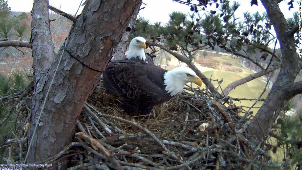 "This pair of bald eagles are a familiar sight at the Bear Trace golf course at Harrison Bay in Tennessee. They arrived at the end of 2010 and since 2012 have been the stars of the club's Eagle Cam. Two eaglets hatched in March and can be <a href=""http://harrisonbayeaglecam.org/"" target=""_blank"">watched online</a> round the clock."