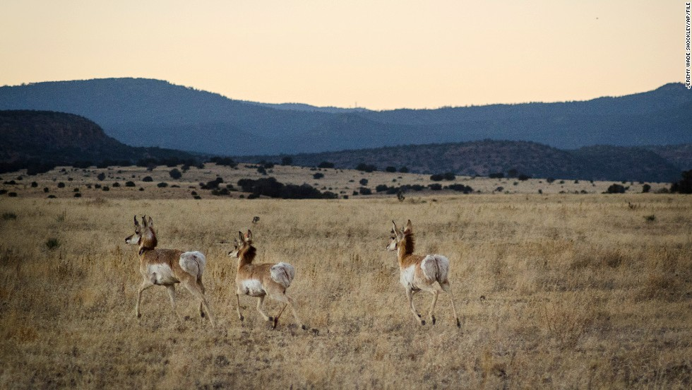 A group of pronghorn run across a meadow after being released on U.S. Forest Service land outside of Fort Stanton, near Capitan, New Mexico, on January. 14, 2014. The federal government owns a third of the land in the state.