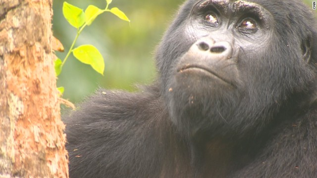 Up close with mountain gorillas in Uganda