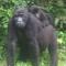 av karungyi gorilla