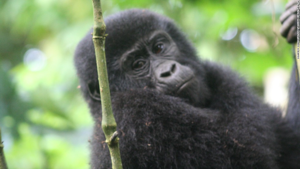 The Rushegura group is one of 10 habituated mountain gorilla groups at the UNESCO-designated World Heritage Site in Uganda.